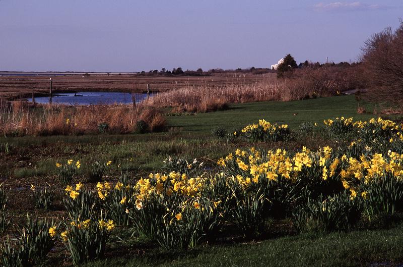 63-1362-63_Daffodils_at_Creeks-(ZF-10645-88621-1-001)