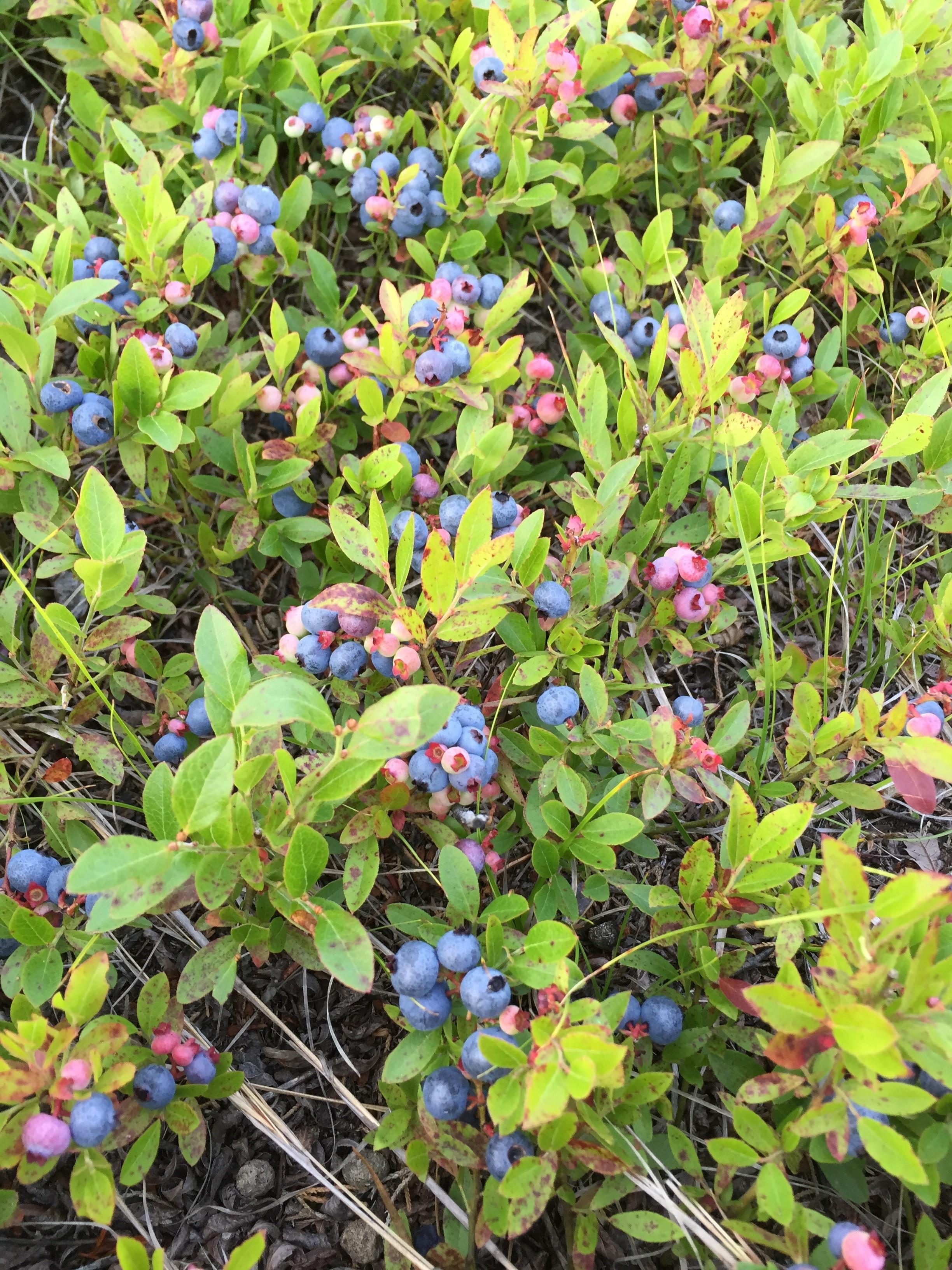 Peter Brace Blog Blueberries
